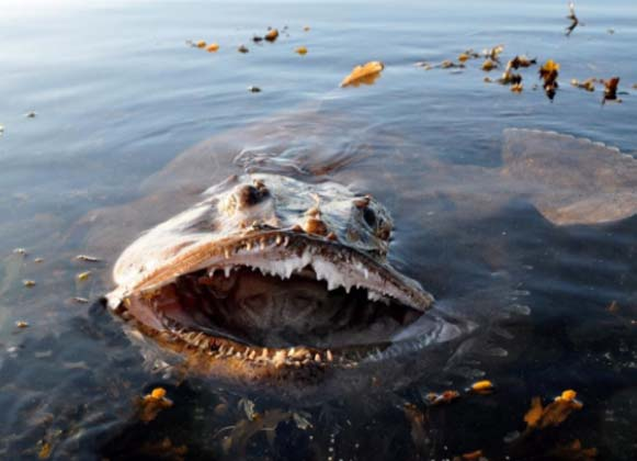 A Giant Monkfish